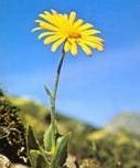 arnica